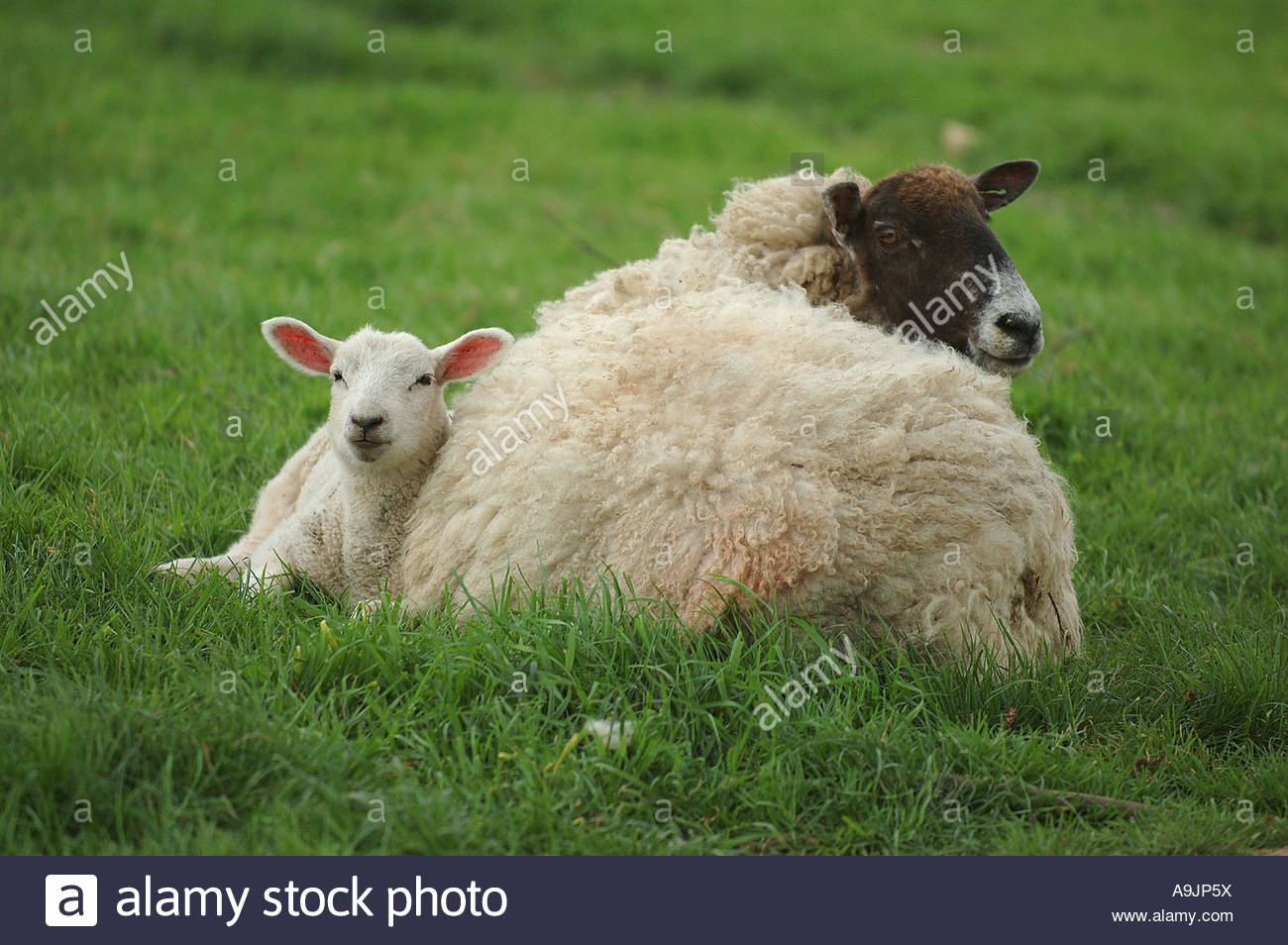 Ewe with her lamb laying in grass field Stock Photo