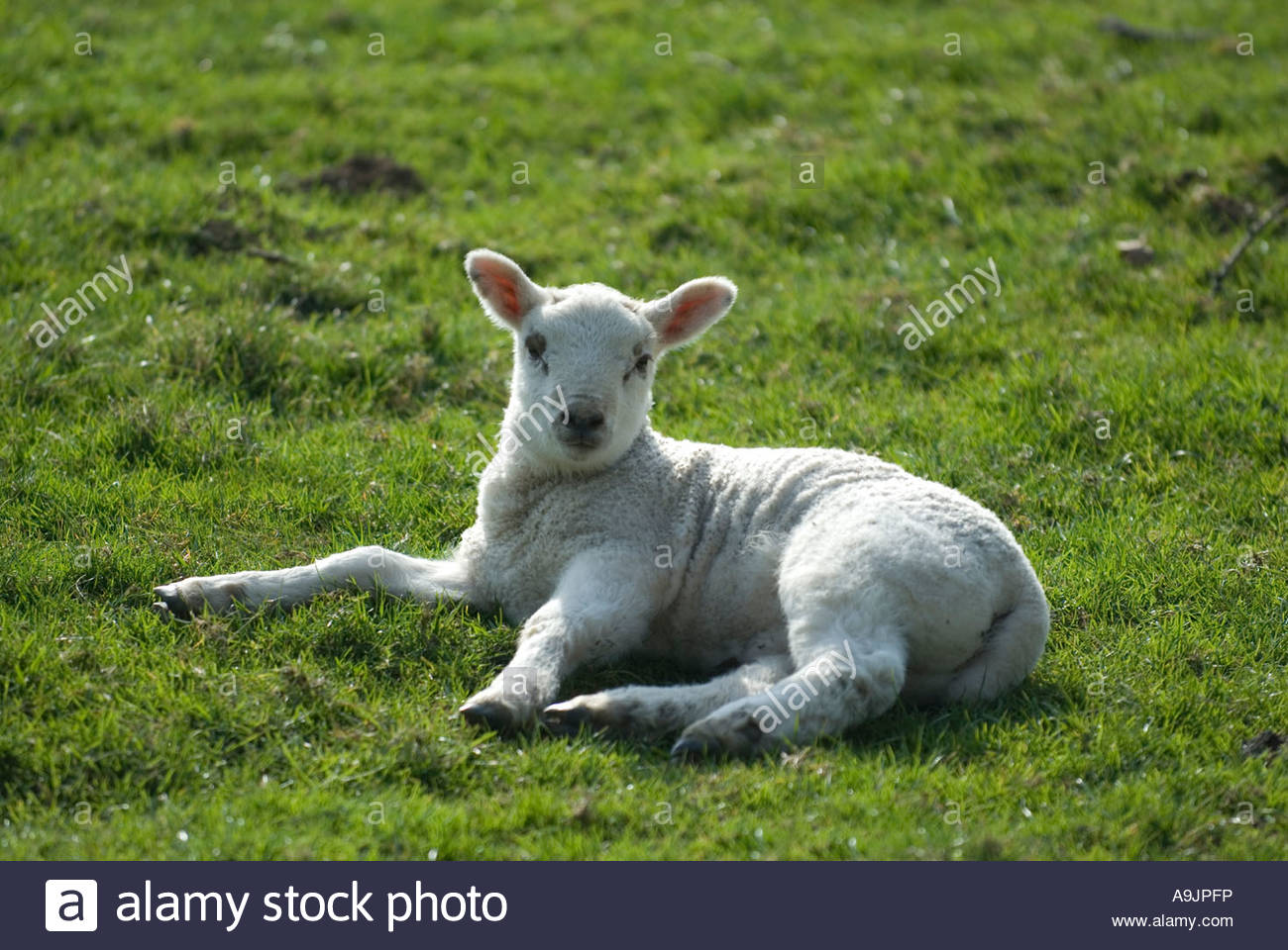 Lamb in Spring, laying on grass in field. Kent, England. Stock Photo
