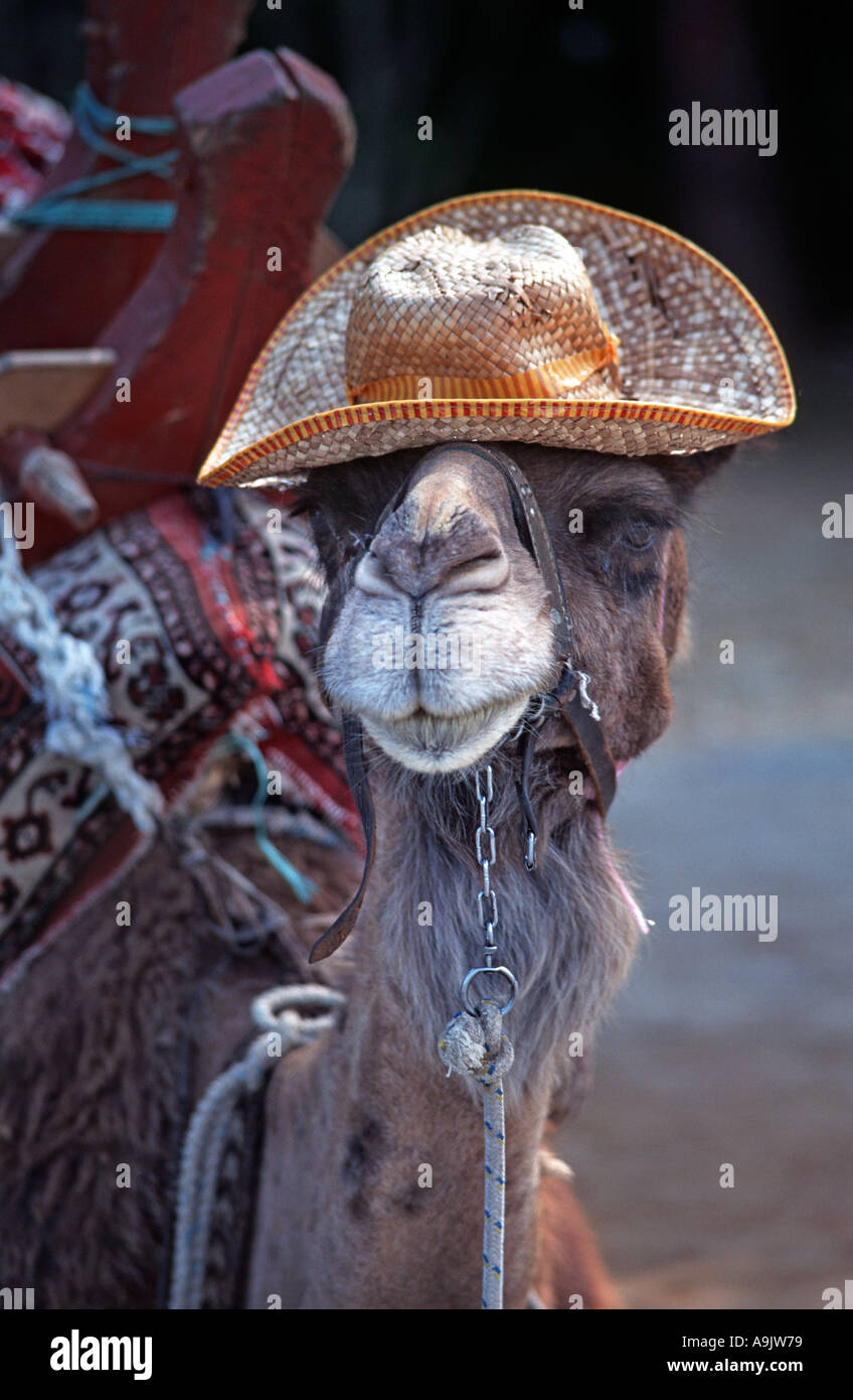 Domesticated camel Turkey These beasts of burden wear hats Humorous photograph Near Termossos Duden waterfalls - Stock Image