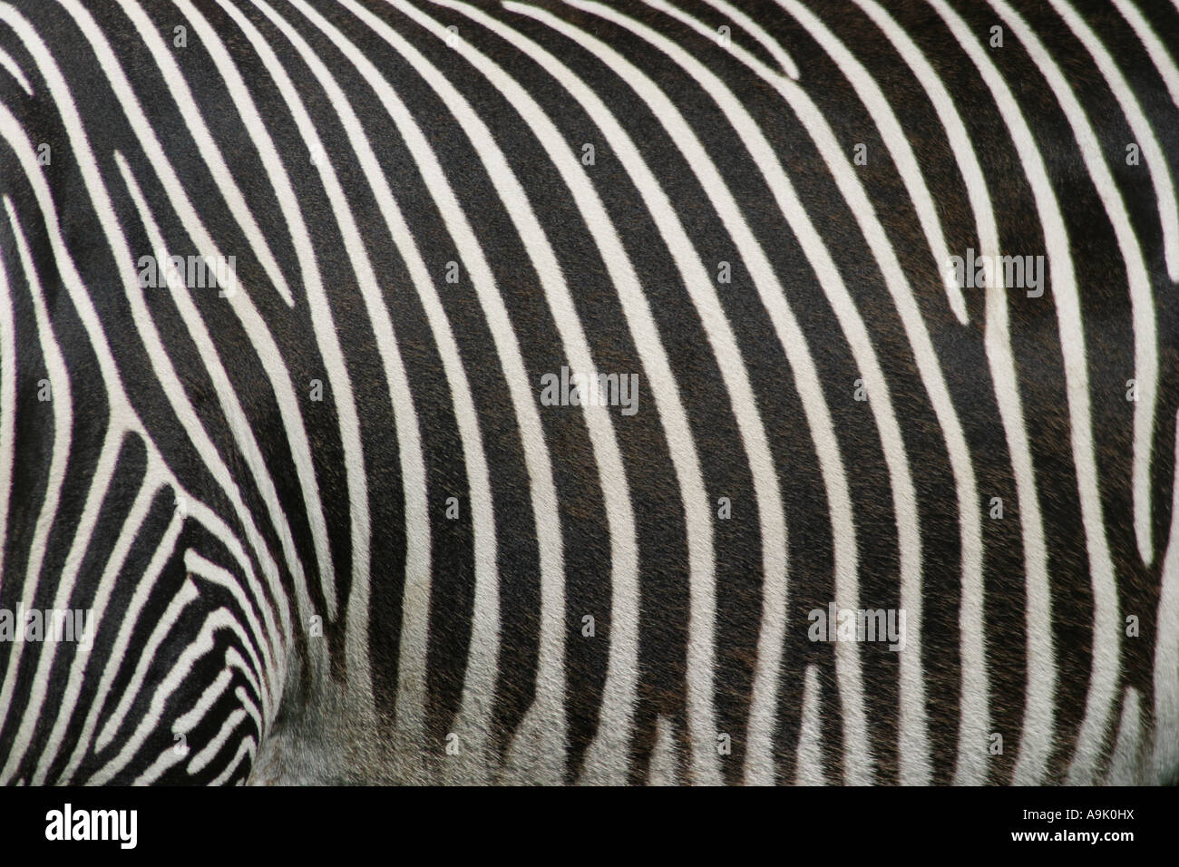 close up of the black and white pattern on a zebra - Stock Image