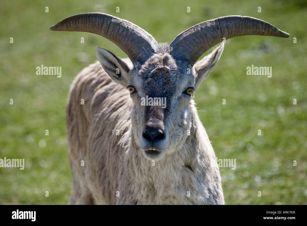 bharal or himalayan blue sheep stock photo 12386650 alamy