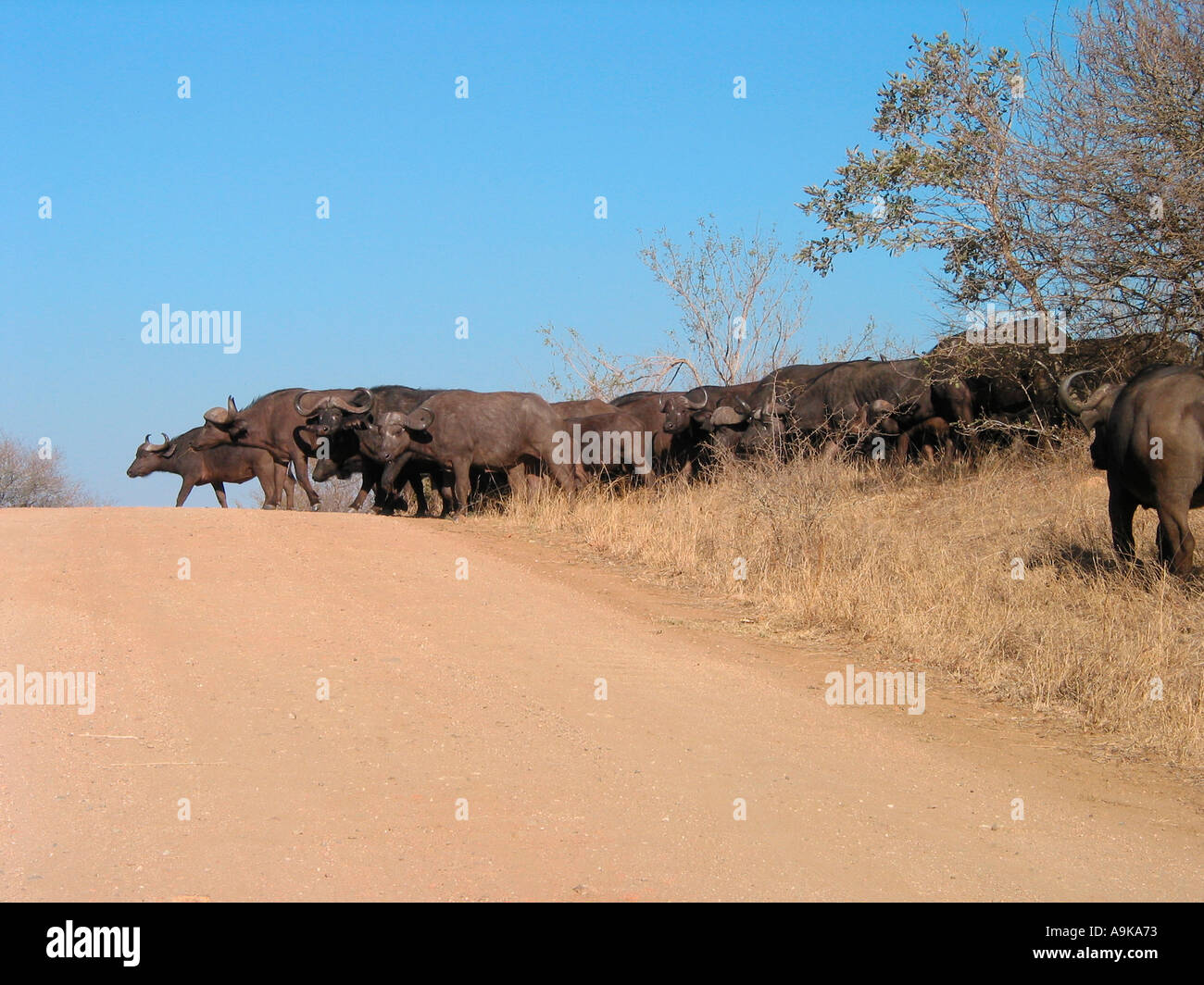 herd of buffalo crossing dirt road Kruger Park south Africa - Stock Image