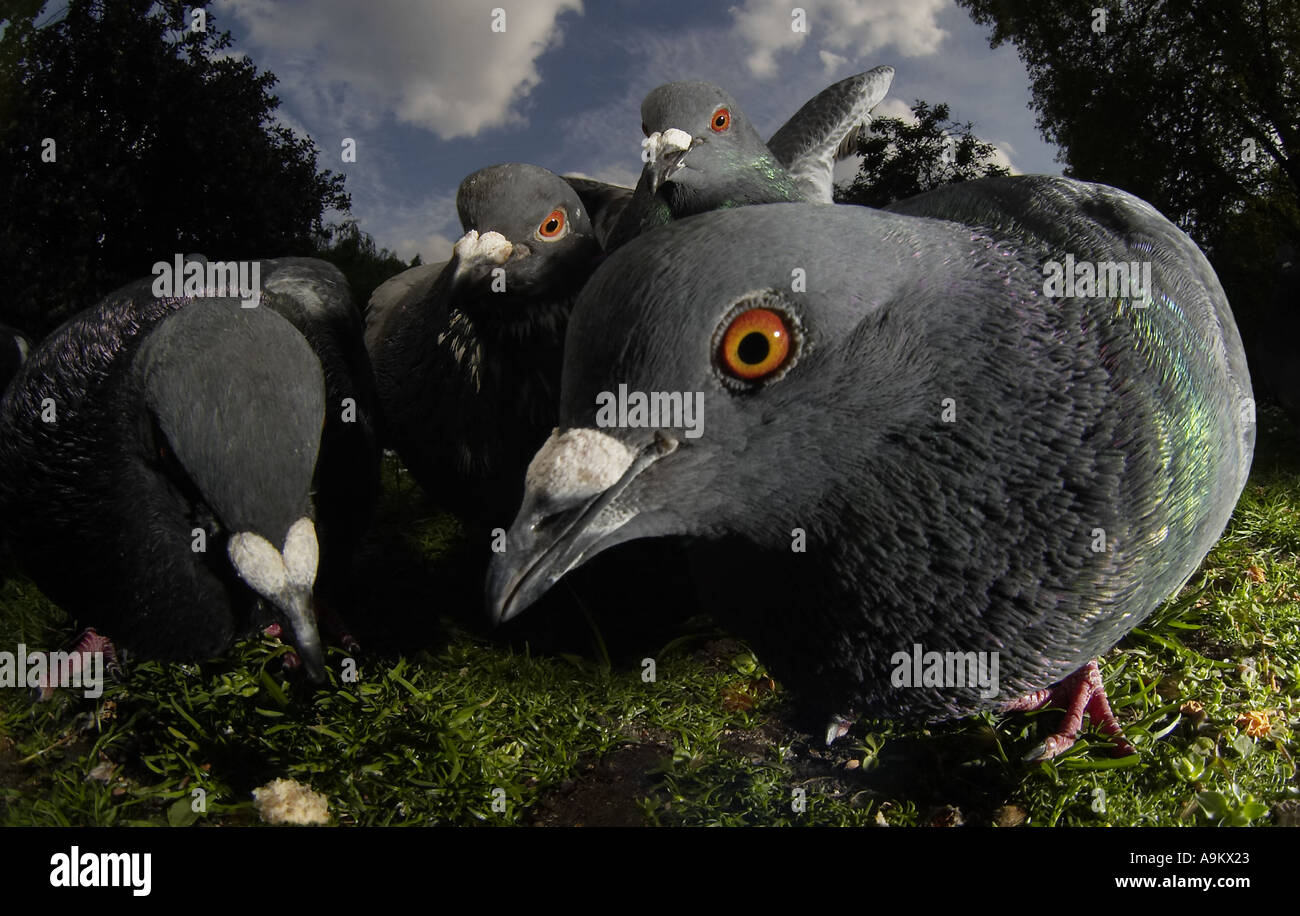 Pigeons in St James Park, London - Stock Image