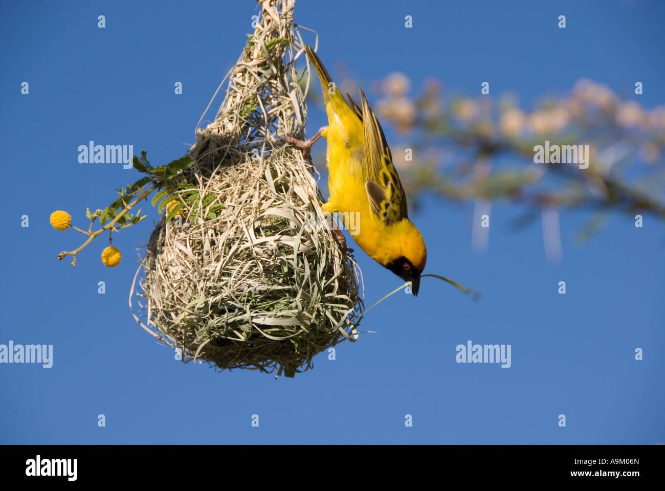 Weaver weaving (2) -- masked weaver building nest, in Namibia - Stock Image