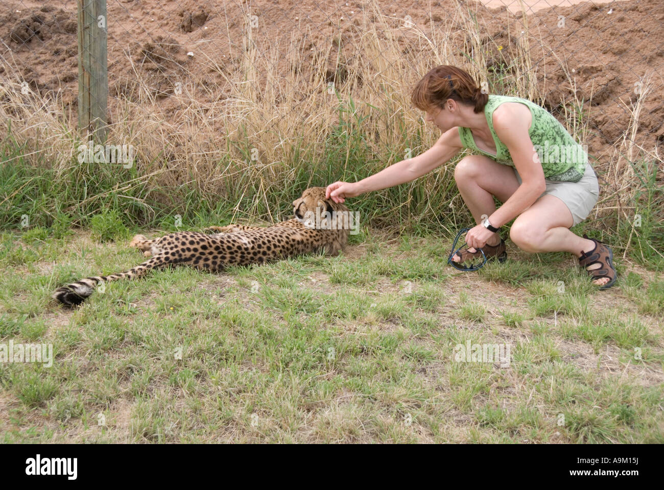Does he bite? Tentatively stroking a cheetah in Namibia (one of sequence) - Stock Image