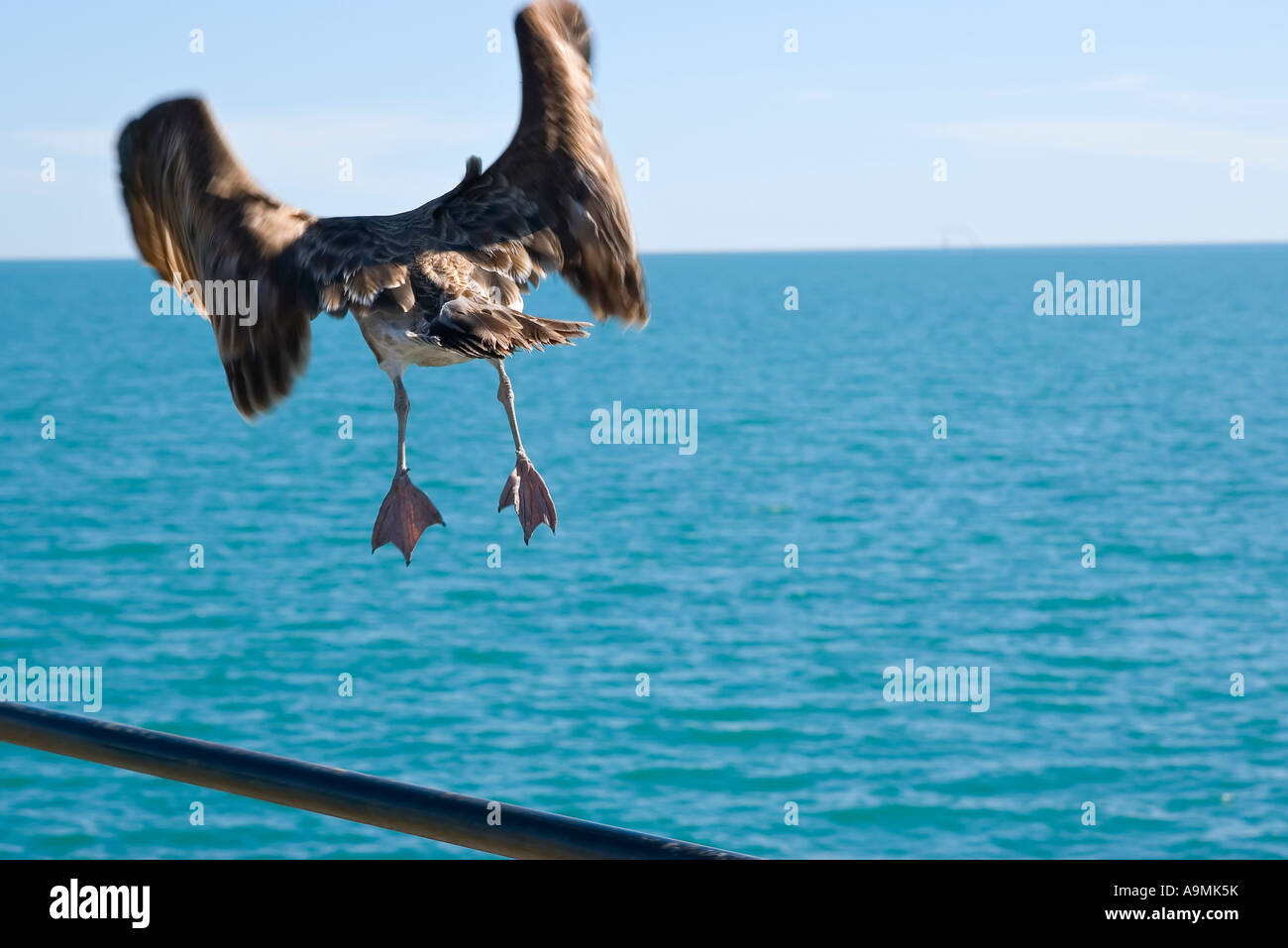 its time to go a large petrel sea bird takes of from a handrail to head out over the ocean - Stock Image