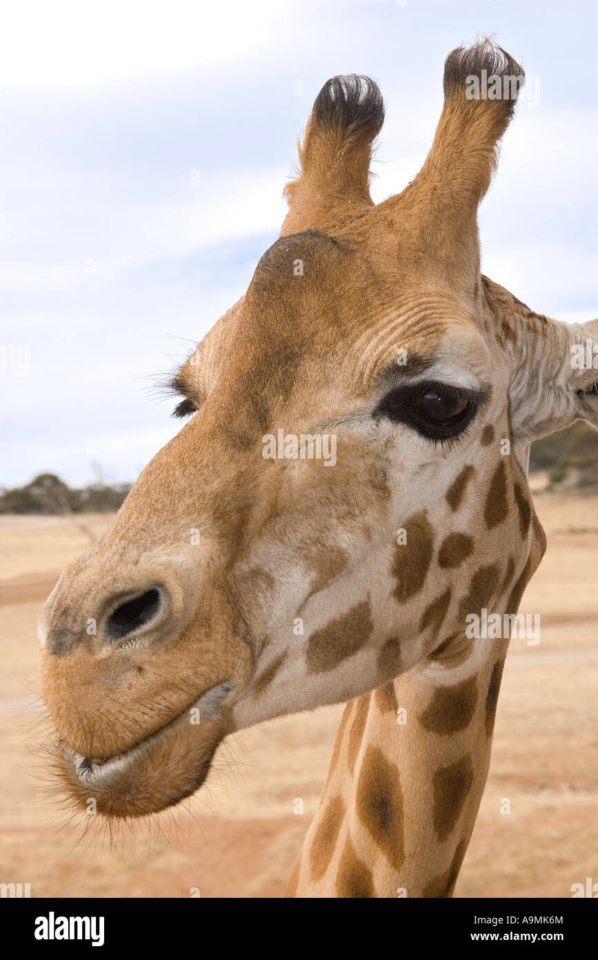 a giraffe up close at eye level and looking into the camera - Stock Image