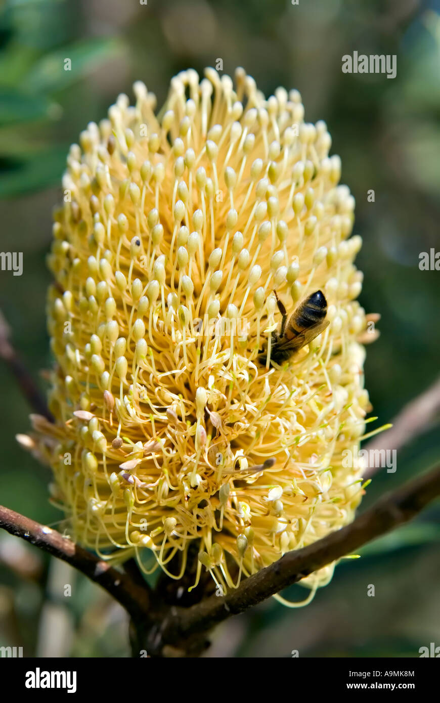 a bee is upside in collecting pollen from a big yellow banksia flower - Stock Image