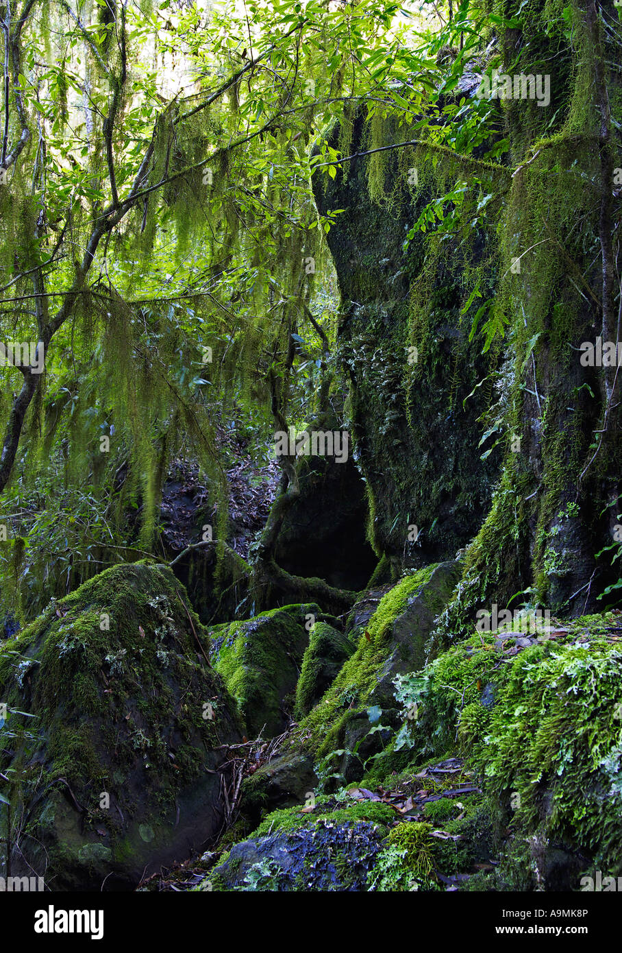 hanging lichen and moss in the oxley wild rivers world heritage rainforest - Stock Image