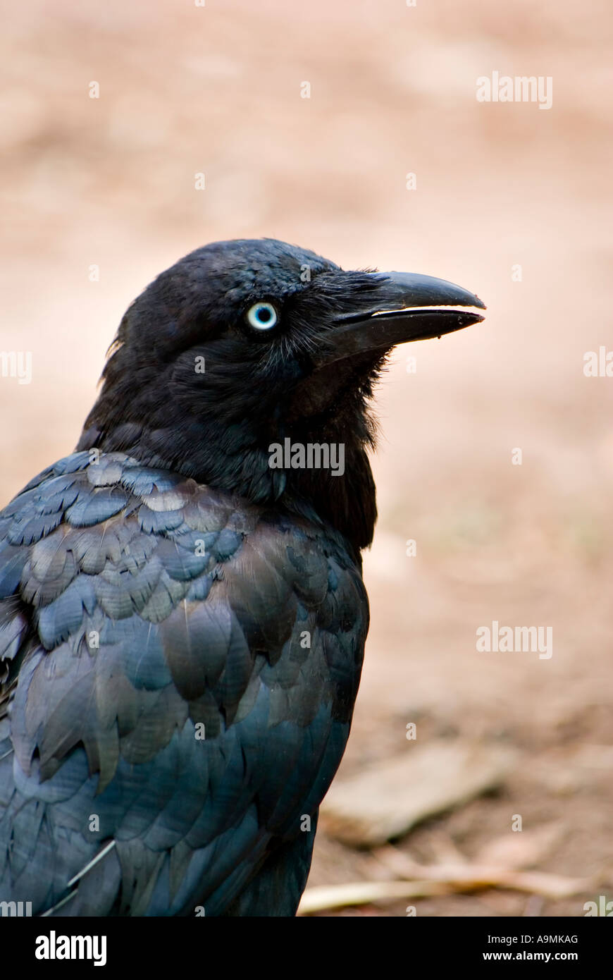 a crow australian raven looks back over its shoulder to see what is behind it - Stock Image