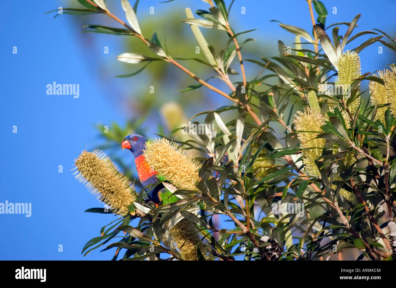a rainbow lorikeet is eating from a large banksia flower - Stock Image