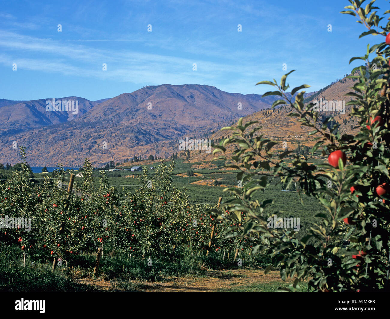 MANSON WASHINGTON STATE USA August At the southern end of Lake Chelan the foothills are covered with apple orchards Stock Photo