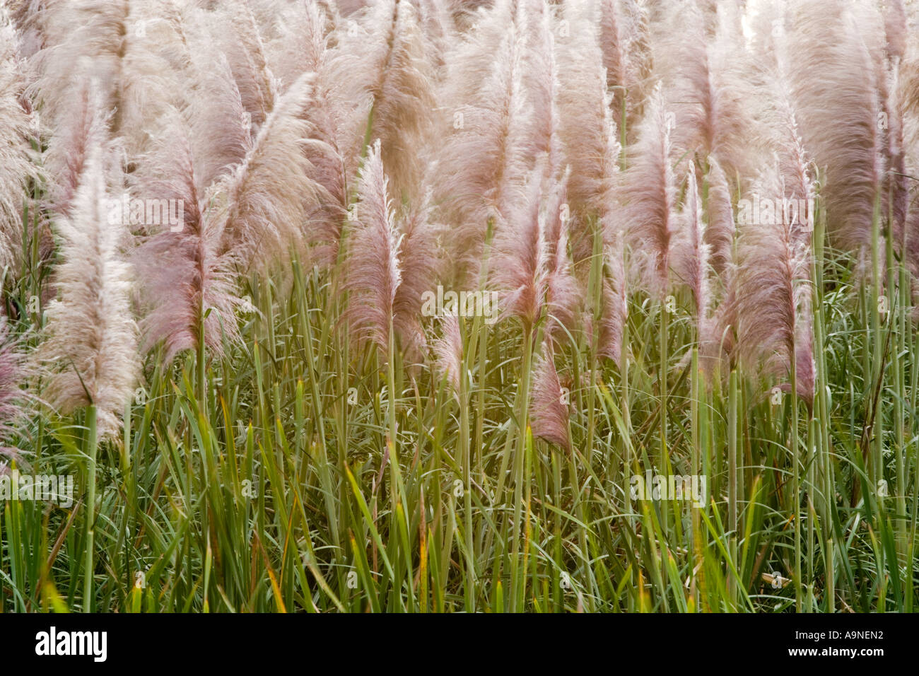 Toi Tois At Type Of Grass Reed Plant Blow In Breeze Near Helensville