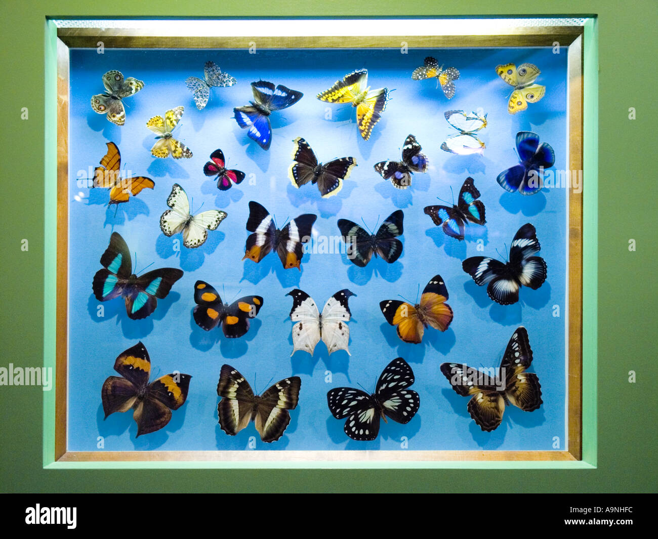 Butterfly butterflies insect animal biology - Stock Image