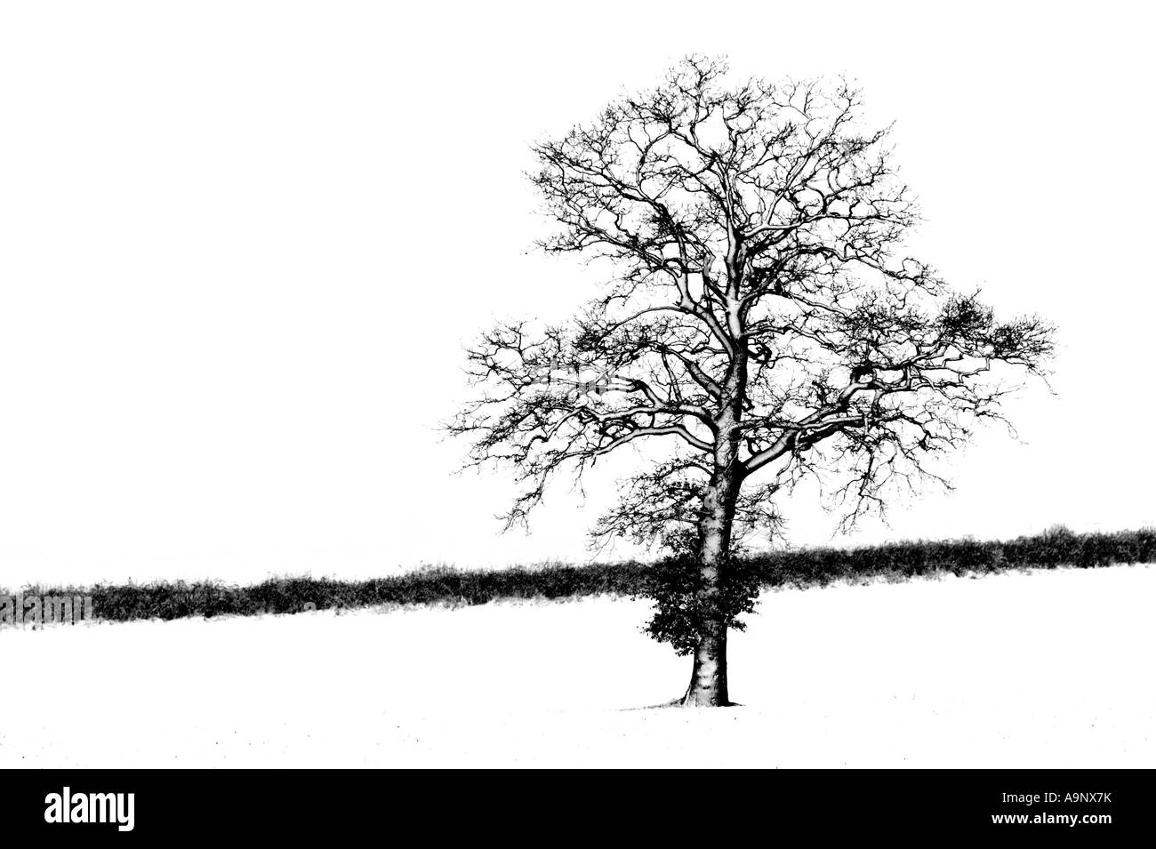 A black and white photograph of an oak tree standing in field covered in snow during blizzard - Stock Image