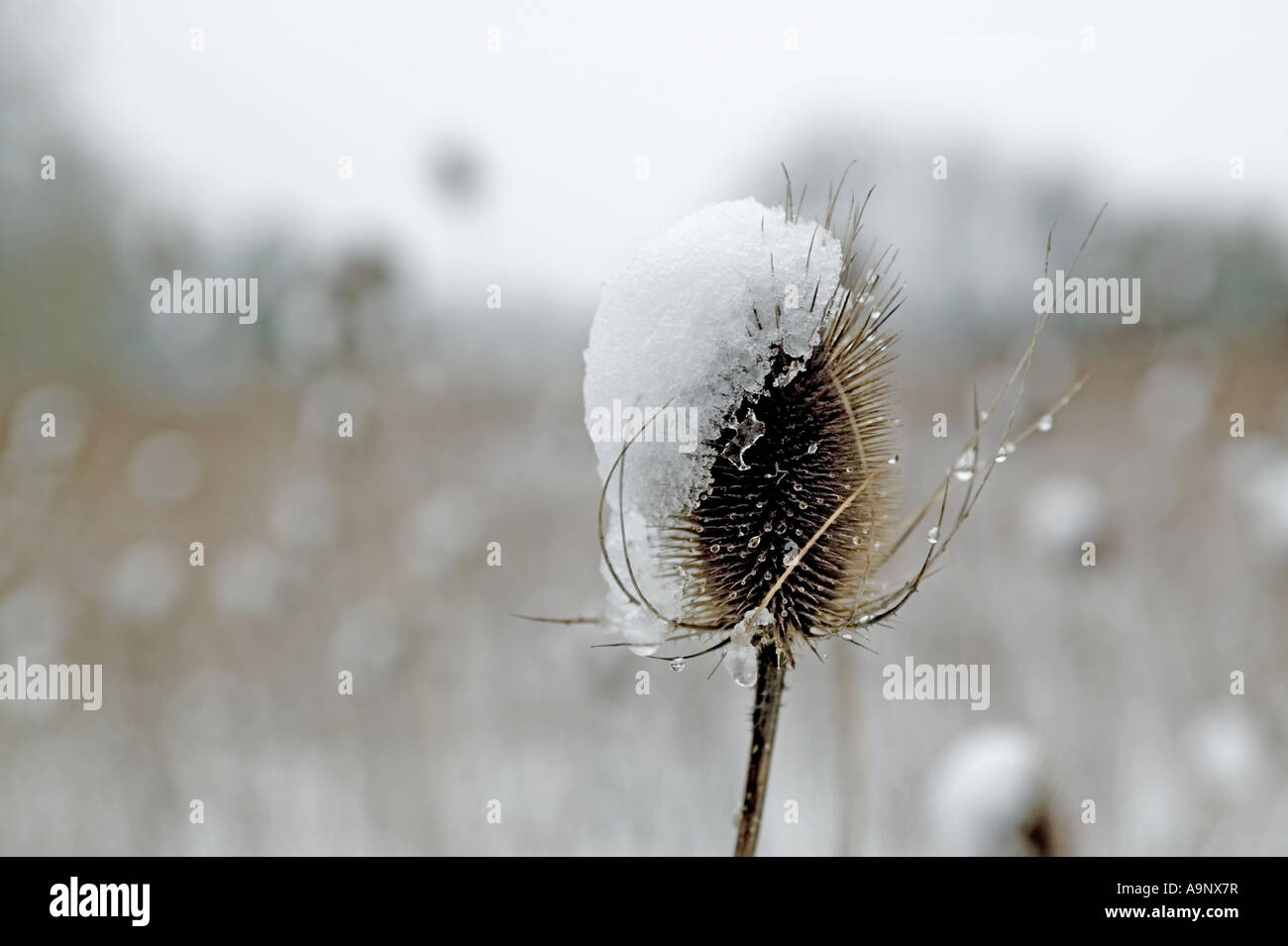 A teasel in winter in rural Suffolk - Stock Image