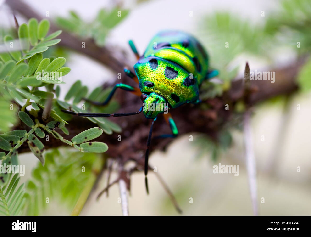 Jewel bug in a bush in the Indian countryside - Stock Image
