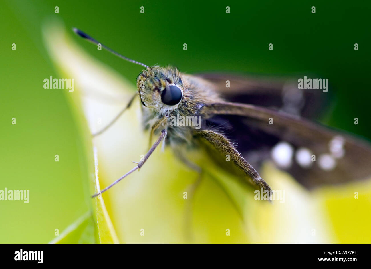 Small moth sitting on leaf in India Stock Photo