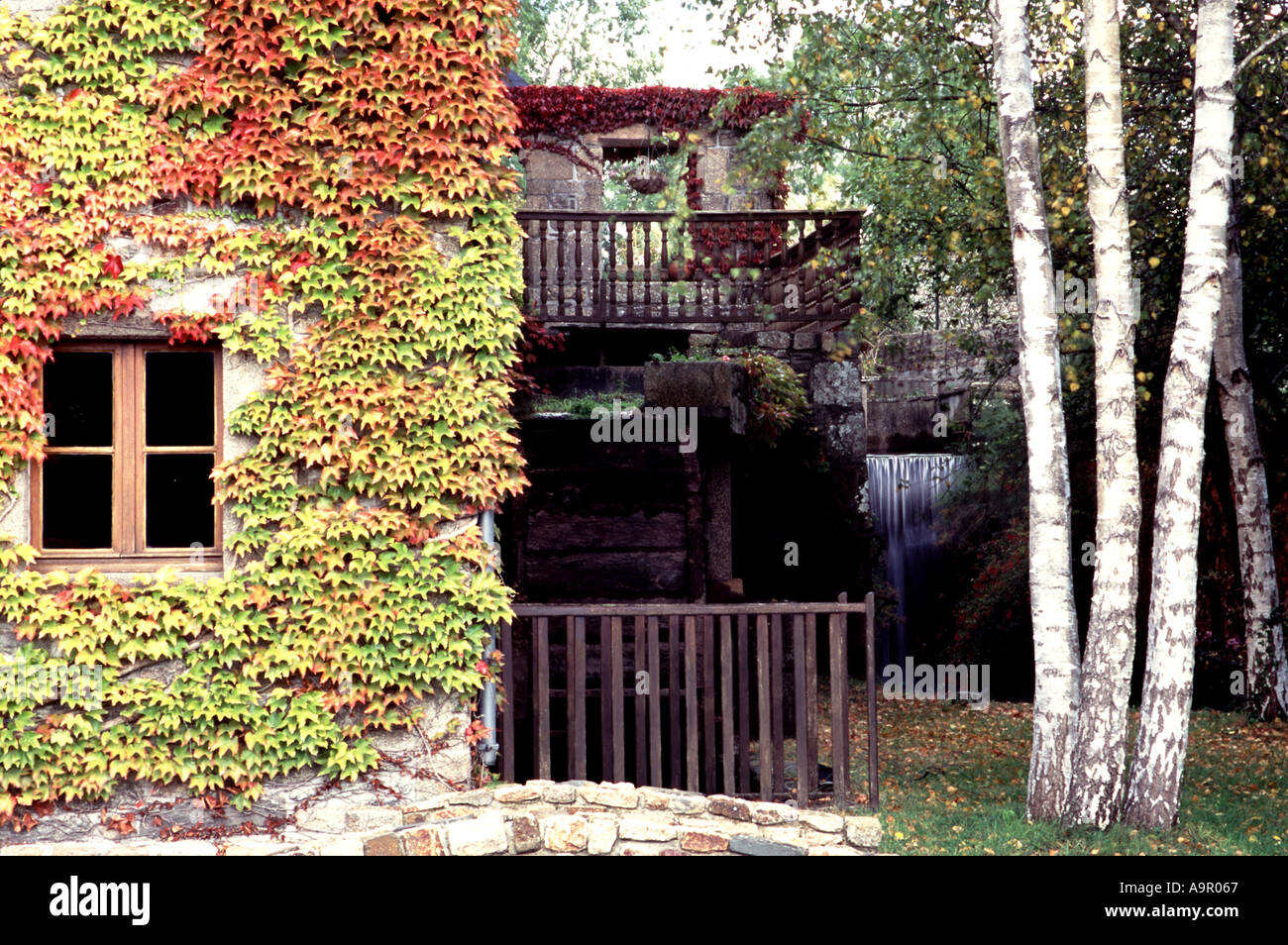 fall color ivy plant growing along wall with water wheel in stock