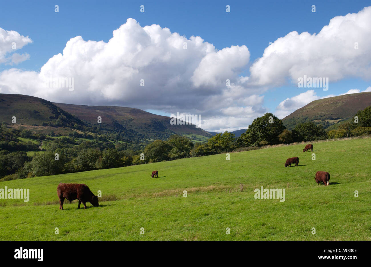 Red Devon cattle grazing at an organic farm in the Llanthony Valley Vale of Ewyas Monmouthshire Wales UK - Stock Image