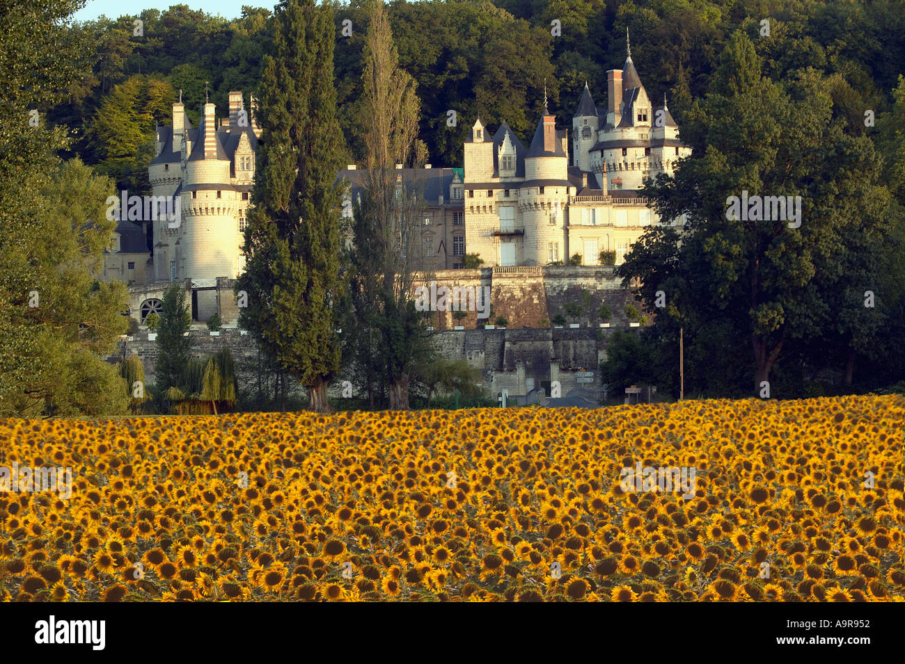 Chateau Usse France with sunflowers in evening sun - Stock Image