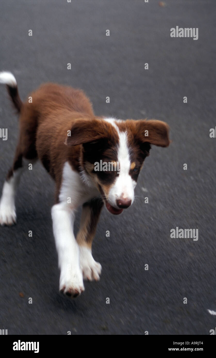 Brown Tri Colour Border Collie Puppy Dog Running 2 Months Old Stock Photo Alamy