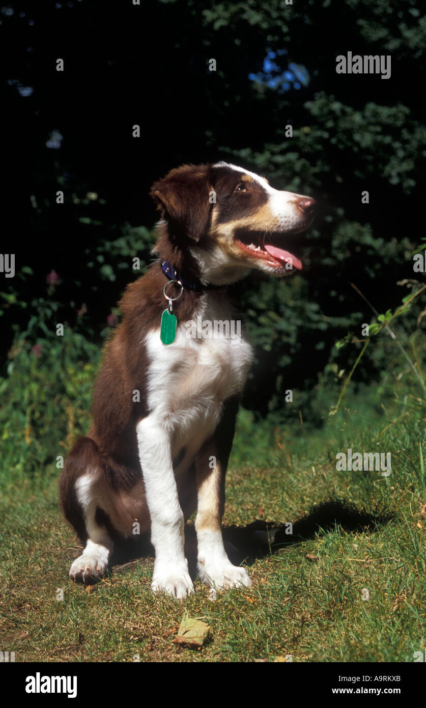 Brown Tri Colour Border Collie Puppy Dog With Identichip Microchip Stock Photo Alamy