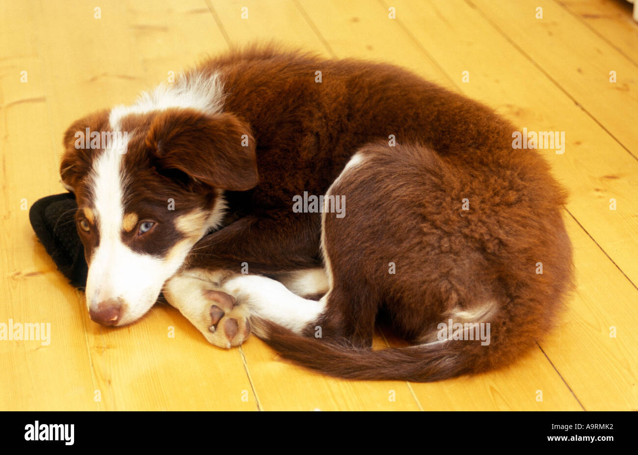 Brown Tri Colour Border Collie Puppy Dog Curled Up On Mat Stock