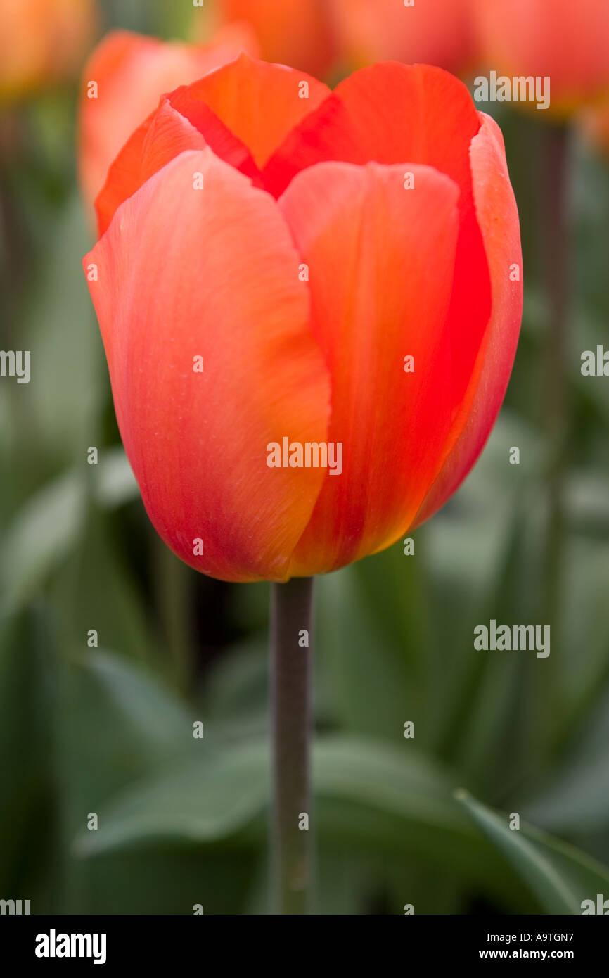 darwin hybrid tulip lighting sun stock photo 7106646 alamy
