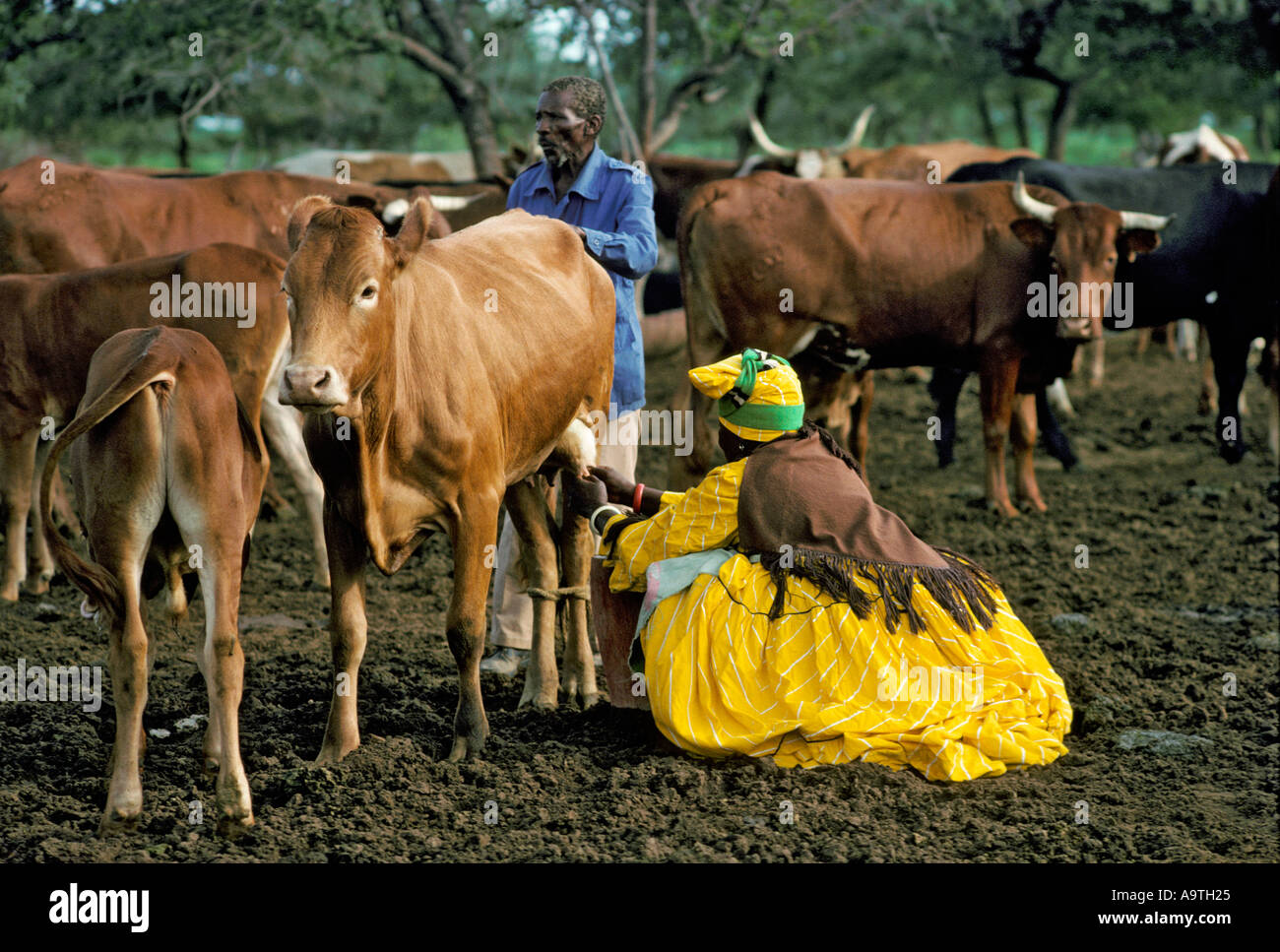 Herero Woman wearing traditional clothes and headdress milking a cow Herero women are the only woman permitted to Stock Photo