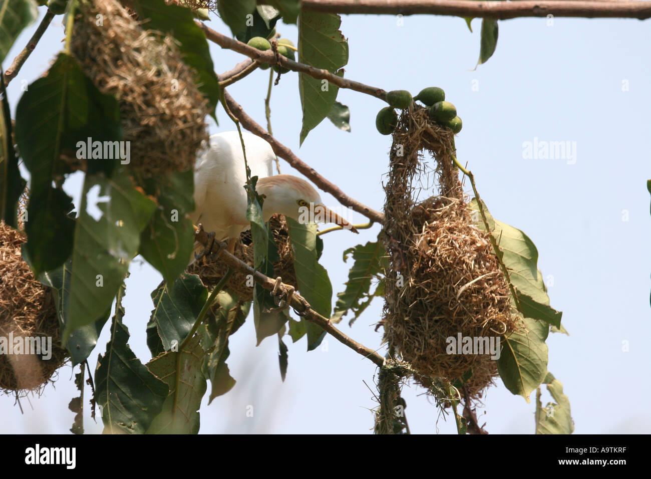 Egret Hunting For Eggs In A Weaver Bird Nest Stock Photo 7107262