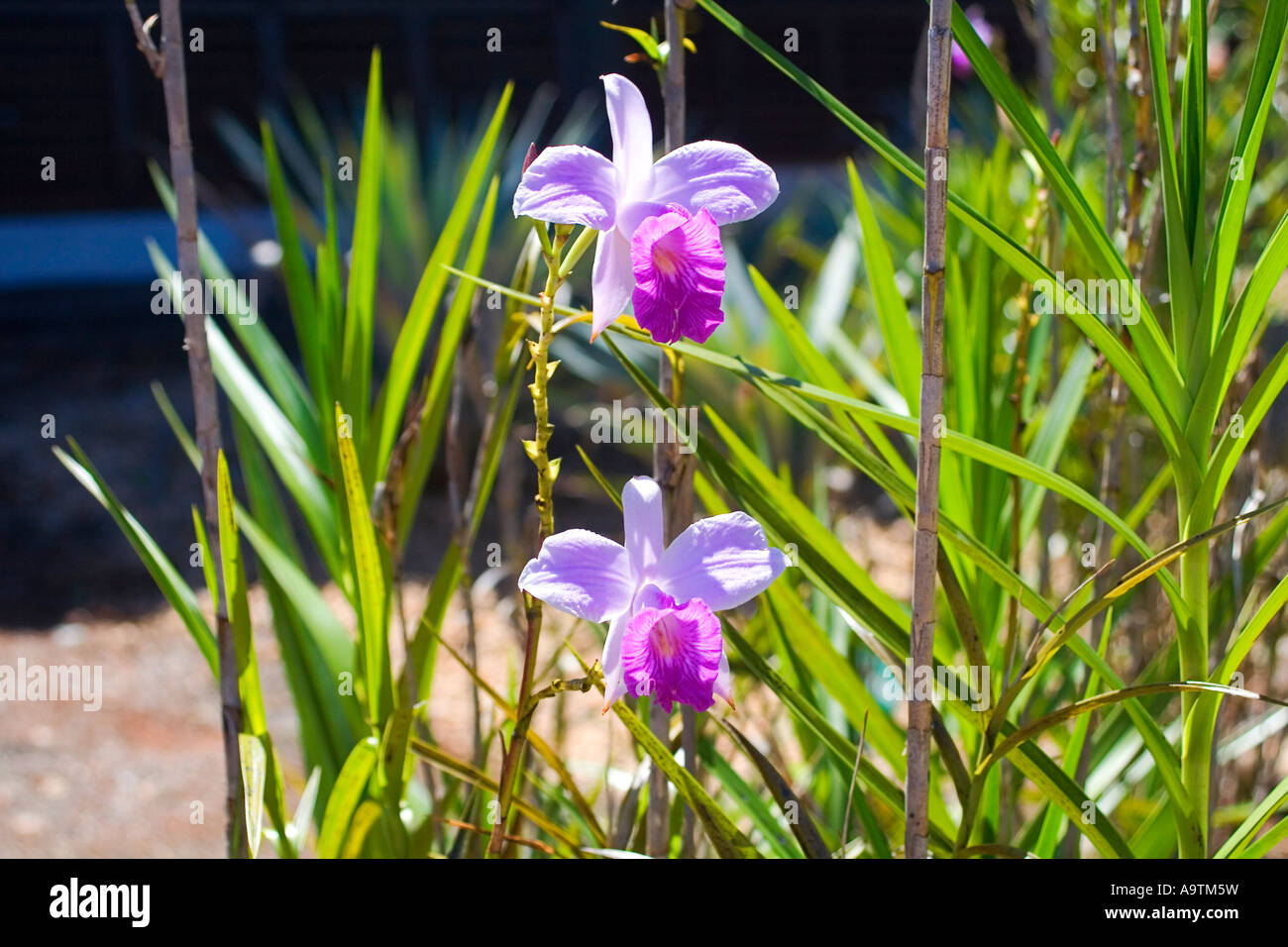 Bamboo Orchid Stock Photo