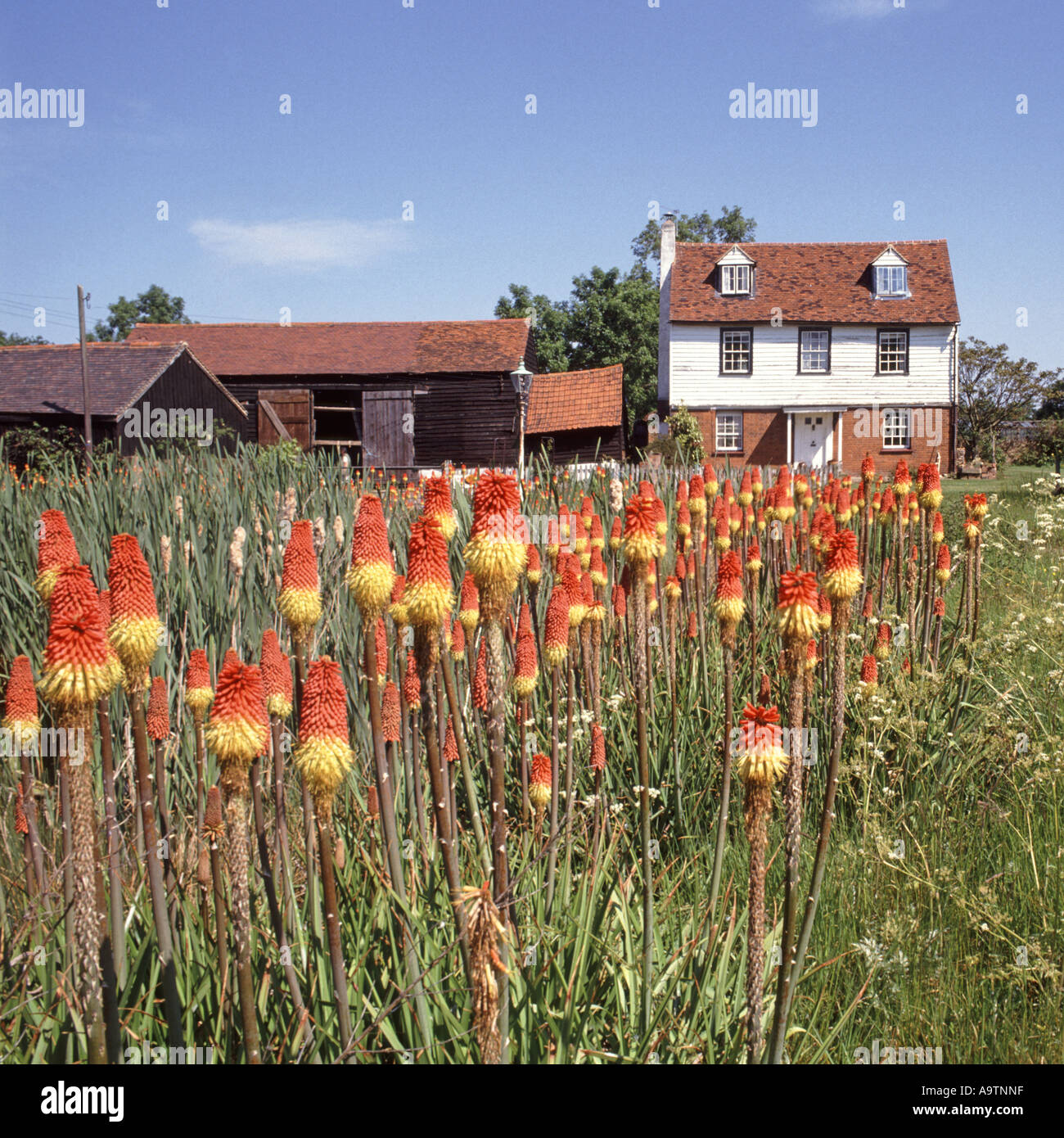 Essex country cottage and adjacent barn with display of red hot pokers in flower - Stock Image