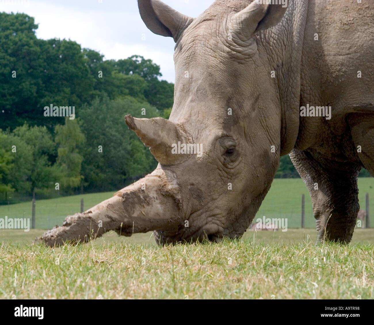 close up of white rhino grazing - Stock Image