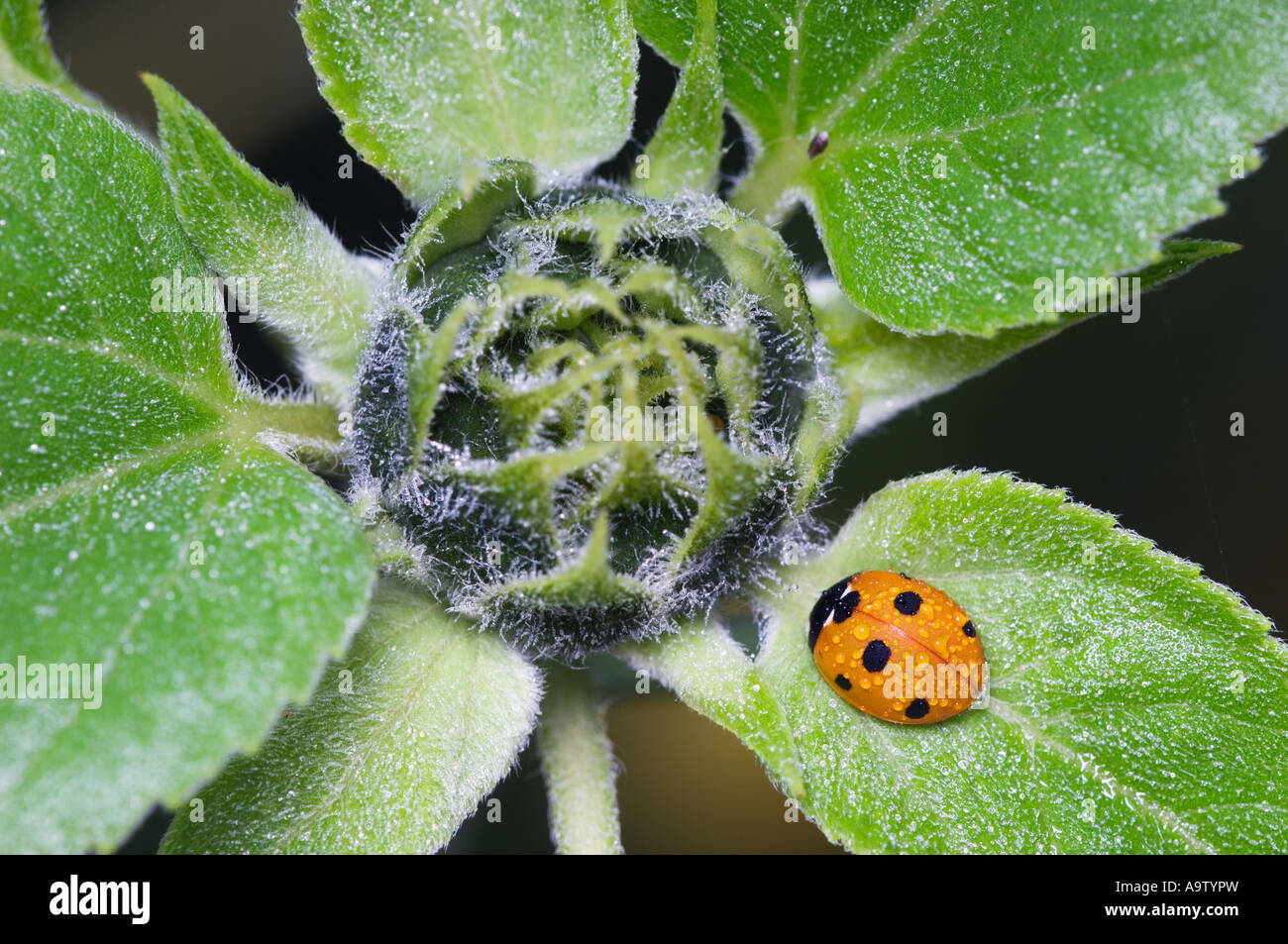Seven spotted ladybird on sunflower plant Stock Photo