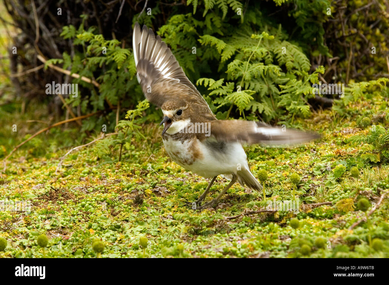 New Zealand Dotterel Enderby Island in the Auckland Islands New Zealand - Stock Image
