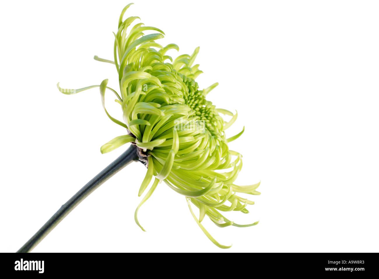 green shamrock chrysanthemum Stock Photo
