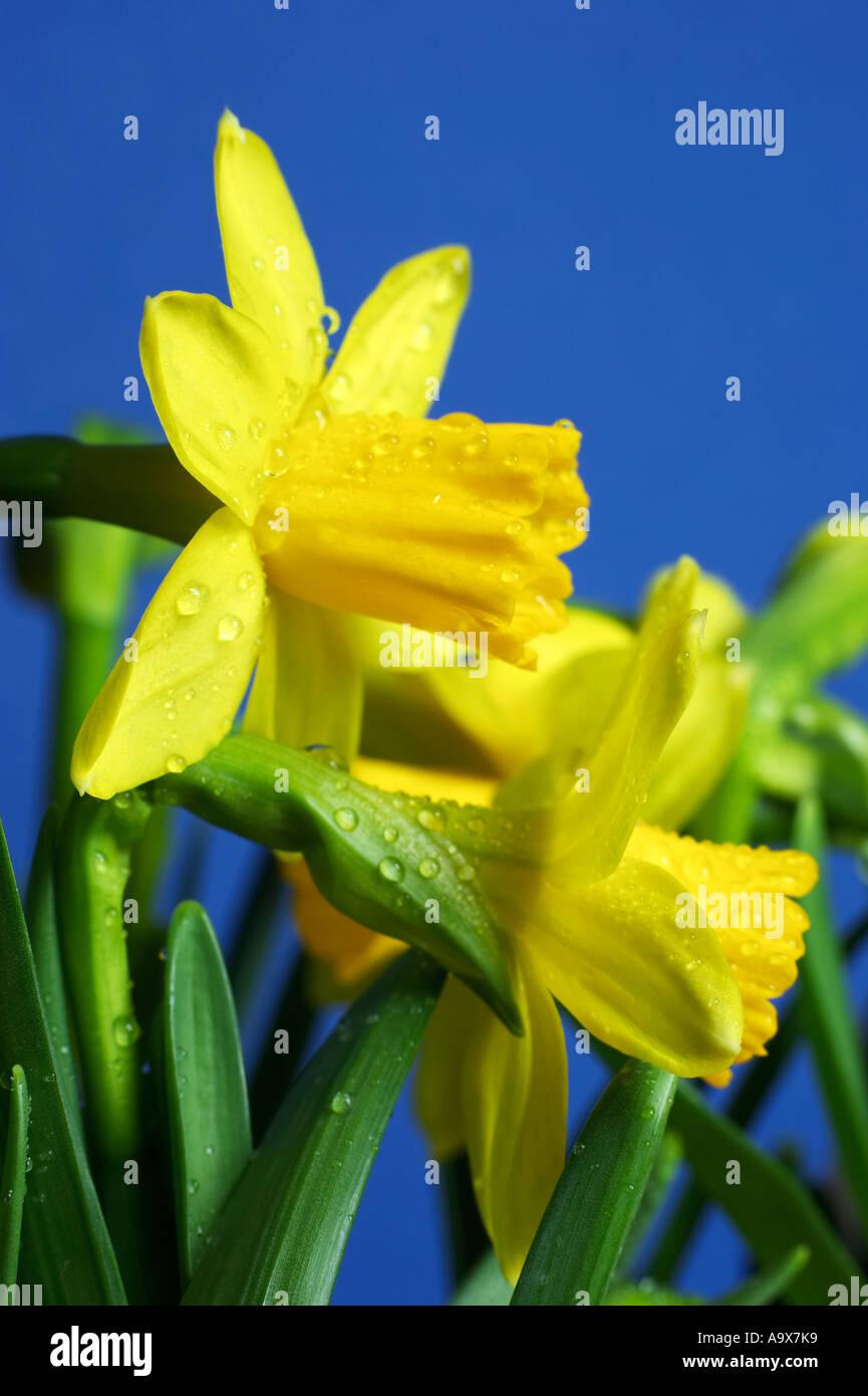 Daffodil Genus Narcissus Cultivar February Gold spring - Stock Image