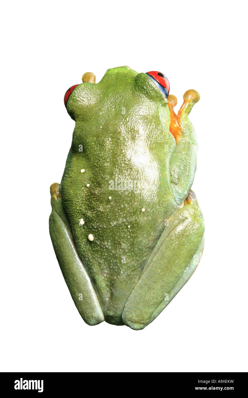 red-eyed treefrog, redeyed treefrog, redeye treefrog, red eye treefrog, red eyed frog (Agalychnis callidryas), sitting Stock Photo