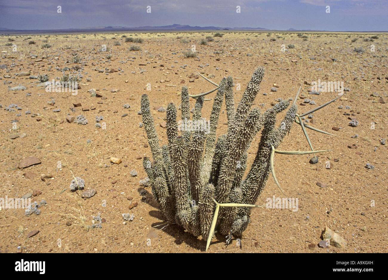 Hoodia Cactus Hoodia Gordonii In Desert Medicinal Plant For