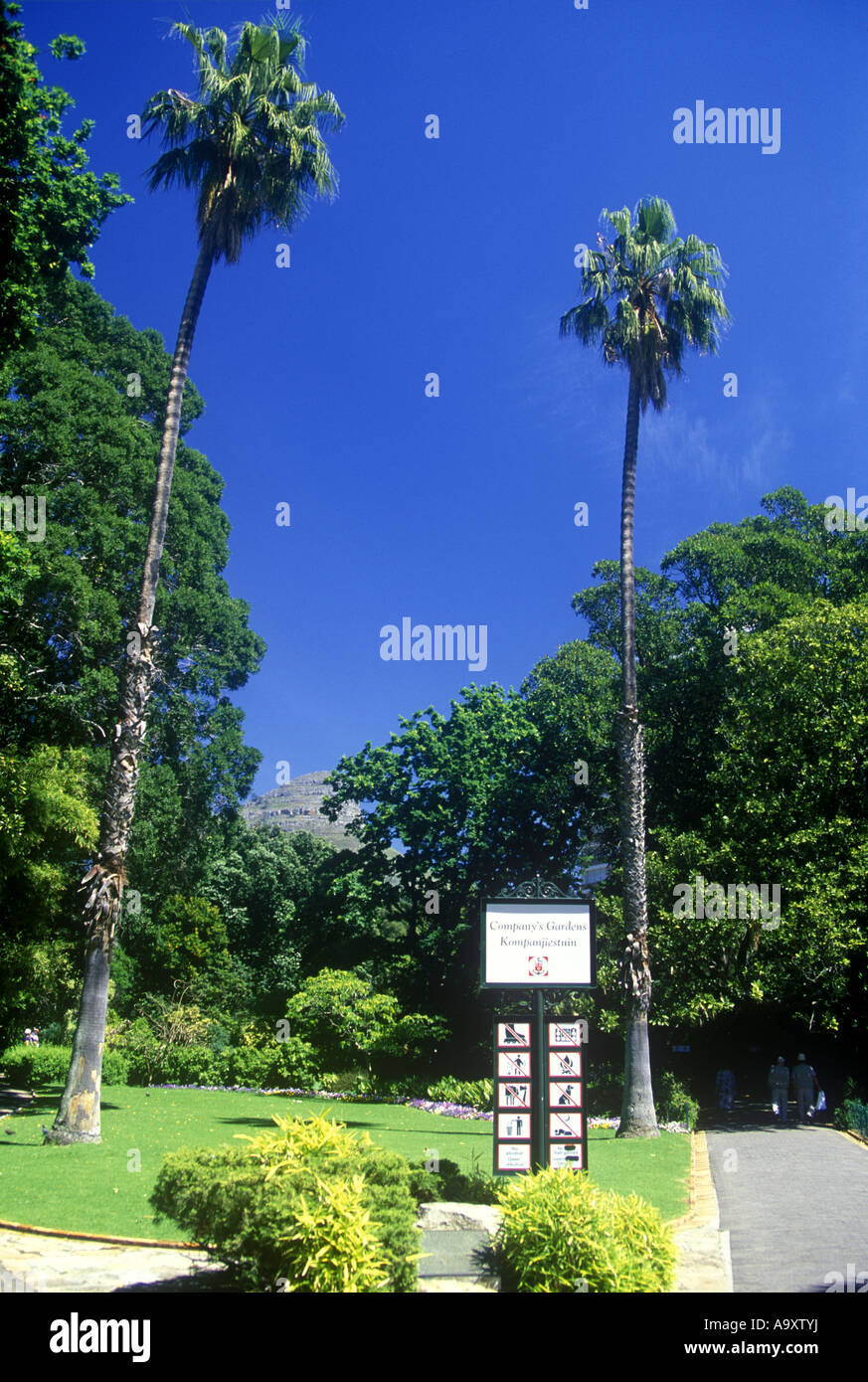 TALL PALM TREES COMPANY GARDEN CAPE TOWN SOUTH AFRICA - Stock Image
