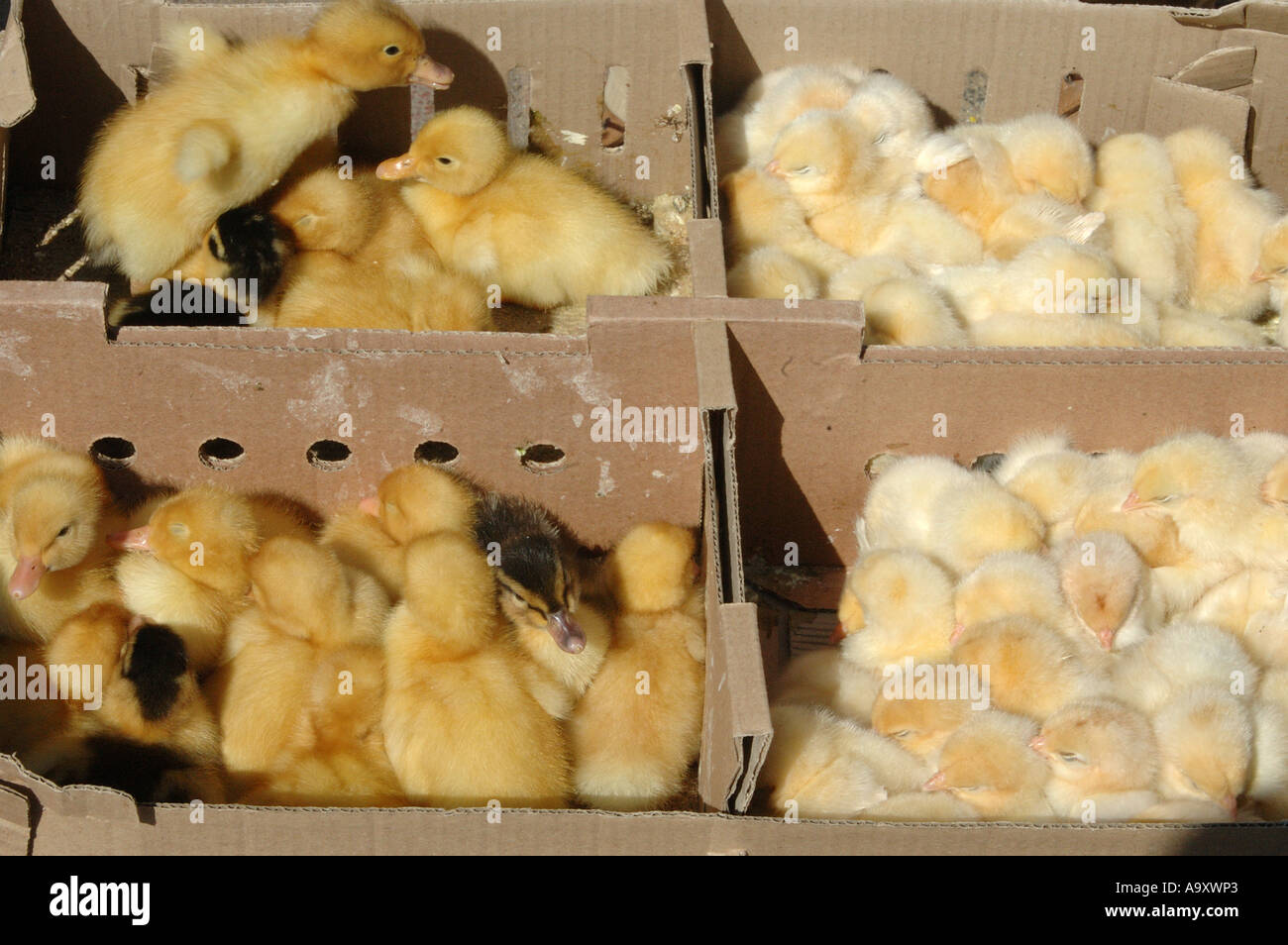 ducklings and chicks for sale on the street in kadikoy on the asian coast of istanbul, Turkey - Stock Image