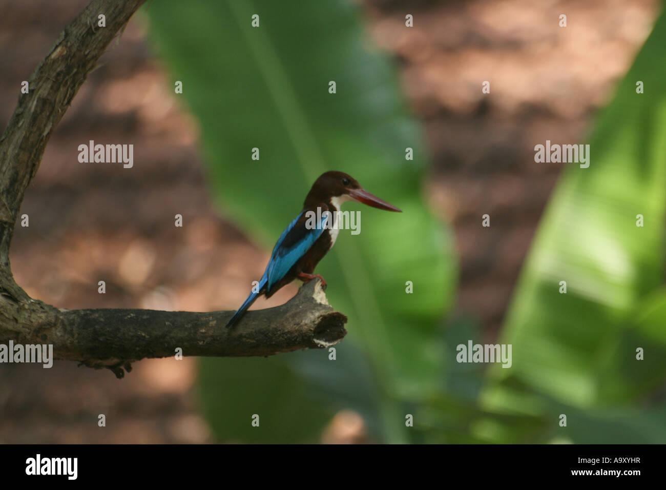 White breasted Kingfisher - Stock Image
