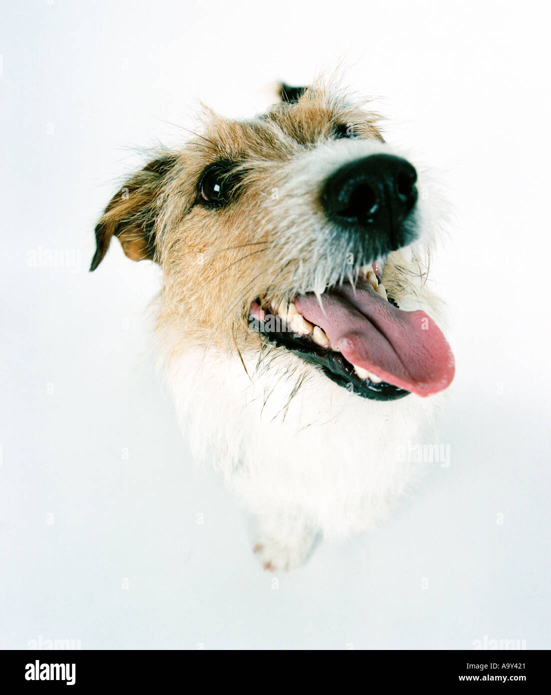Jack Russell dog in white room - Stock Image