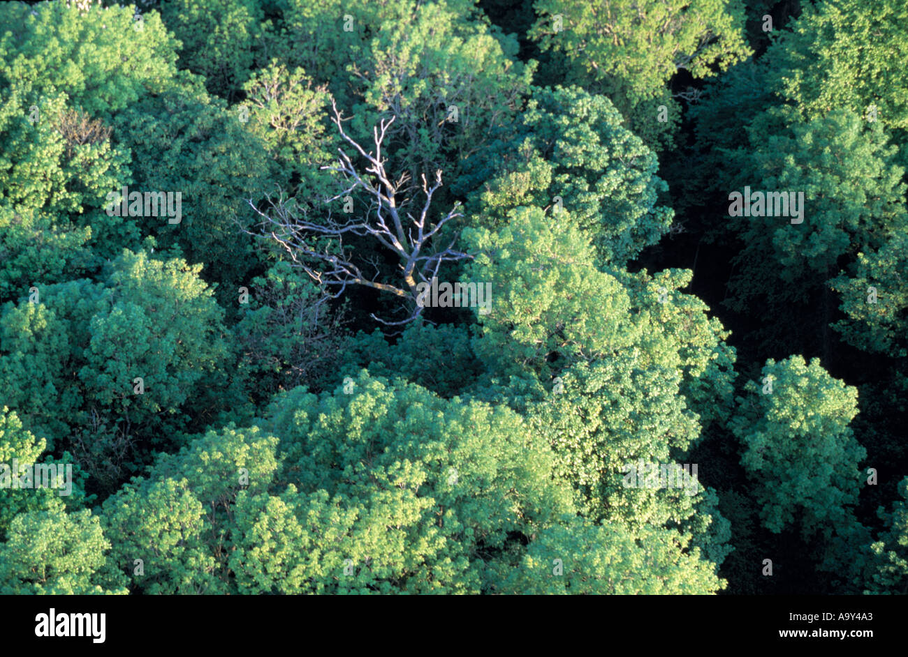 forest from above looking down on trees one dead - Stock Image