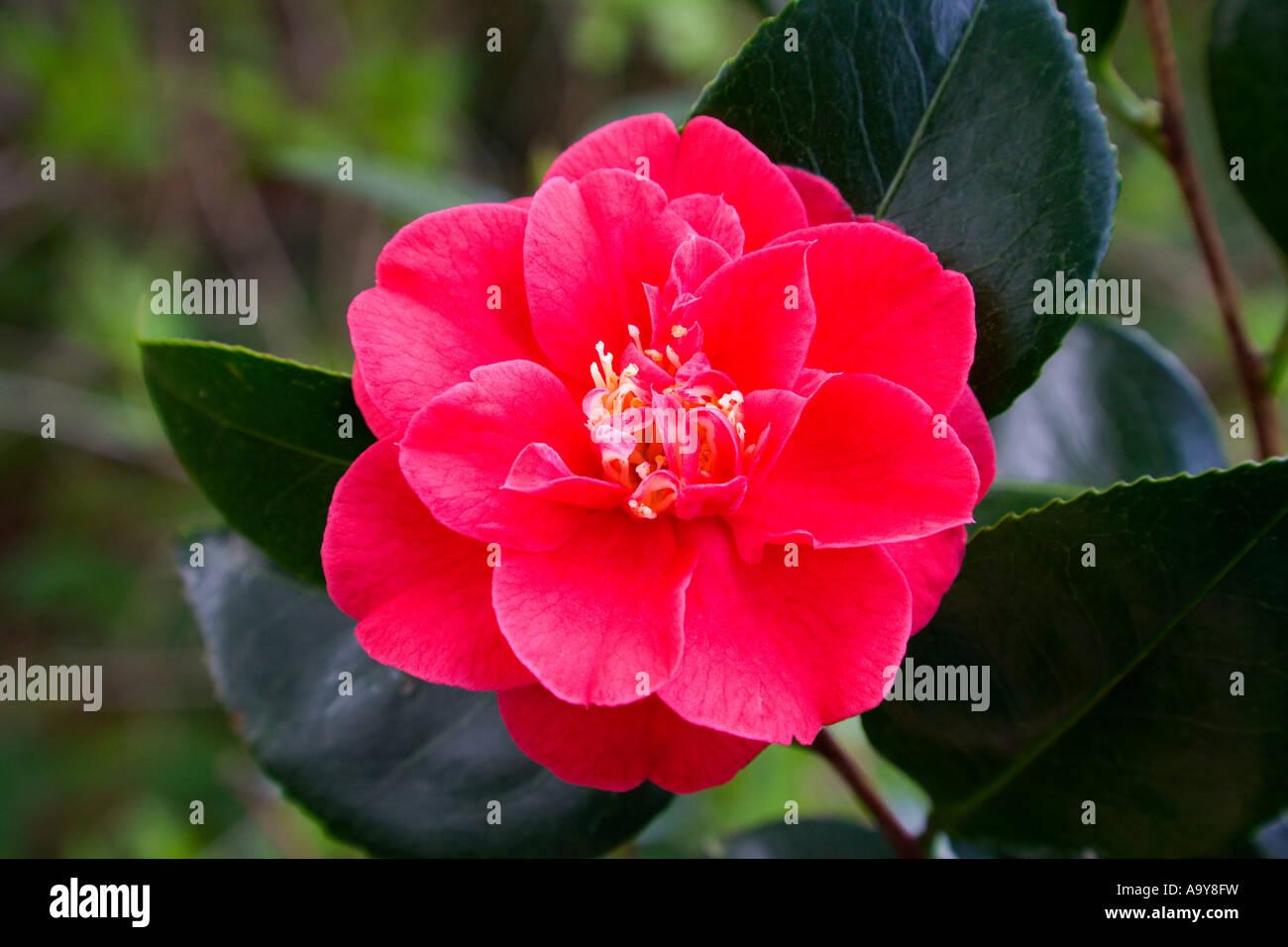 red azalea rhododendron - Stock Image