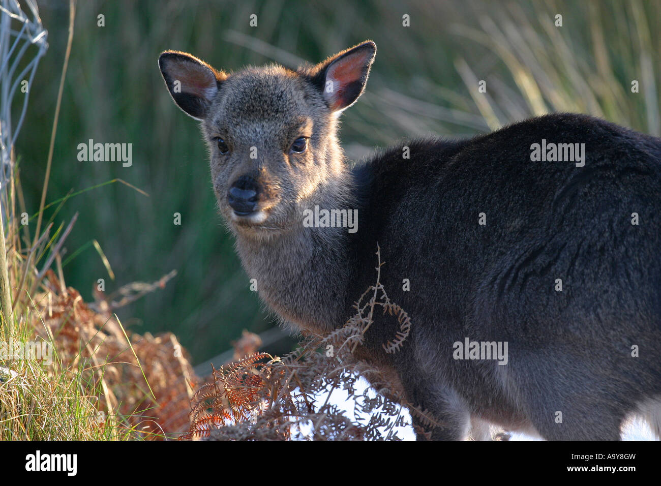 young deer in undergrowth - Stock Image