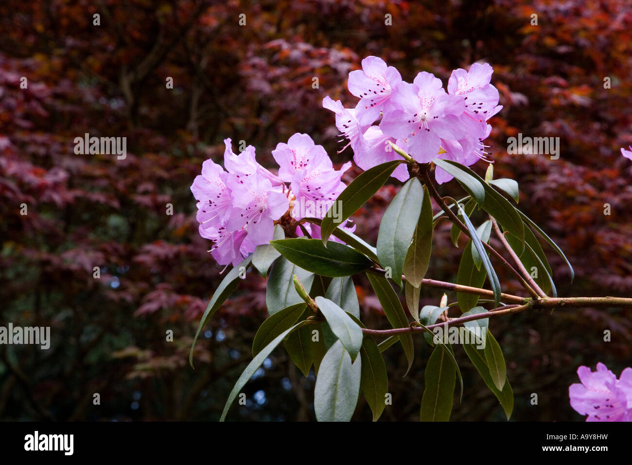 rhododendron bright pink purple flowers in bloom exploding from foliage against a deep dark russet coloured shrubbery - Stock Image