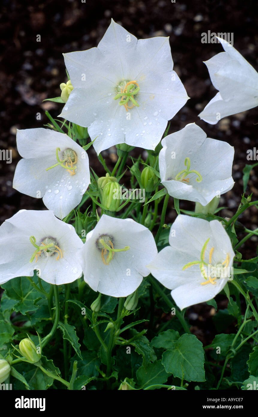 Campanula Carpatica White Clips Bell Shaped White Flowers Plants