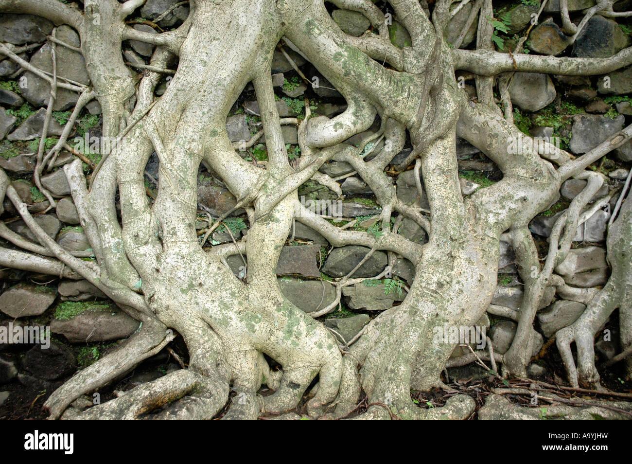 Roots of a tree at a wall Bath of Fasilidas Gondar Ethiopia Stock Photo